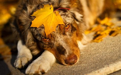 Fall Backgrounds Dogs by Fall Wallpaper Allwallpaper In 8022 Pc En