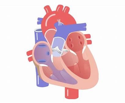 Heart Movement Valves Clipart Valve Semilunar Cycle
