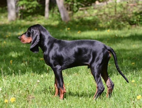 dog breed that hunts lions dog breeds picture