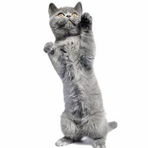 Weißer Wurm Katze : bilder von katze grau blick tiere wei er hintergrund ~ Markanthonyermac.com Haus und Dekorationen