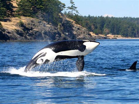 Seattle To San Juan Islands Whale Watching & Sealife