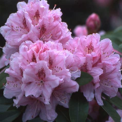 rhododendron photos rhododendron albert schweitzer pot de 5 litres hauteur 30 50cm 3 ans d 224 194 162 ge gamm vert