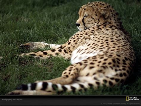 National Geographic Animal Hd Wallpapers - animals national geographic leopards 1600x1200 wallpaper