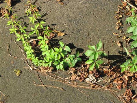 Poison Oak Vs Poison Ivy Rash Tommycatinfo