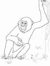 Chimpanzee Coloring Bonobo Printable Ausmalbild Schimpanse Supercoloring Drawing Ape Ausmalbilder Apes Monkey Ausmalen Gorilla Von Mammals Zum Library Templates Bestcoloringpagesforkids sketch template