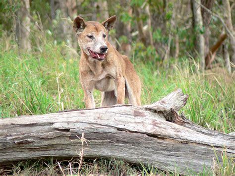 wild dog dingo dog hybrids feral  wild    pest