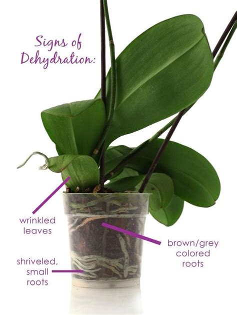 orchids not blooming ice cube orchid not blooming ice cube orchids signs of dehydration orchids pinterest