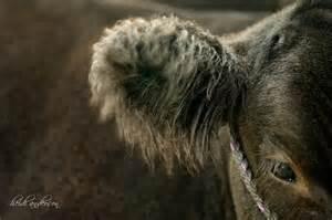 Legacy Livestock Photography