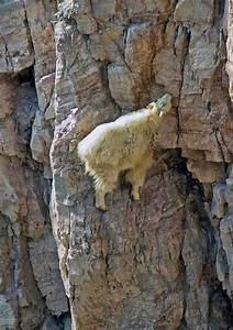 13 Pictures of Crazy Goats on Cliffs | Living Nature ...