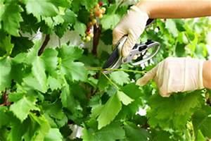 Zimmerpflanzen Alte Sorten : tafeltrauben sorten pflanzen pflege schneiden ~ Michelbontemps.com Haus und Dekorationen