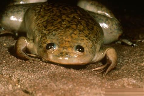 clawed frog african clawed frog facts habitat lifespan pictures animals adda