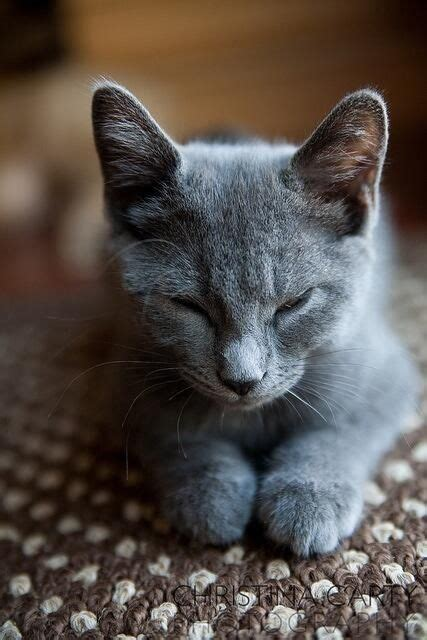 names for grey cats best 25 russian blue kitten ideas on pinterest russian blue british blue kitten and grey cats