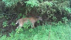 Deadly disease is spreading through local deer populations ...