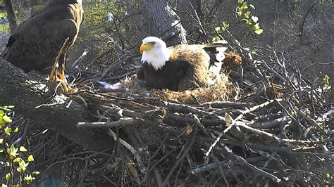 dc eagle nest 3 17 2016 american eagle foundation eagles
