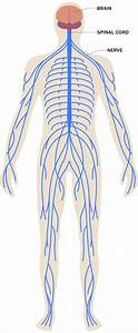 Stress Effects On The Body  Nervous System