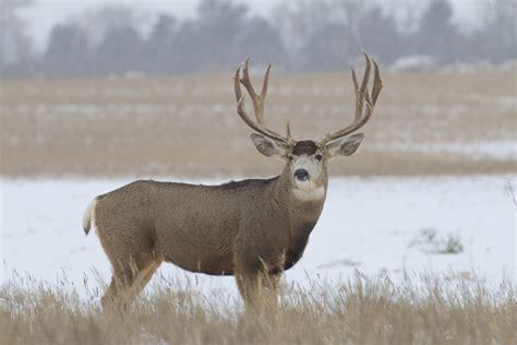 The First Order Wallpaper Wyoming S Top 10 Monster Mule Deer Of 2014 Jdheiner