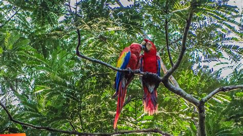 Scarlet Macaws Are Found High In The Canopy Of Rainforest