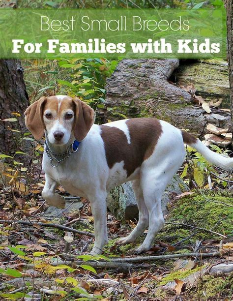 small dog breeds   great  kids dogvills
