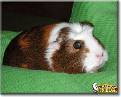 guinea pig names wanna choose cute and funky guinea pig names images frompo
