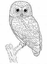 Owl Coloring Printable Owls Adult Adults Colouring Sheets Colored Already Template sketch template