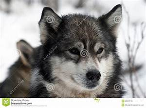Siberian Hunting Dog Laika, Siberia, Russia Stock Photo ...