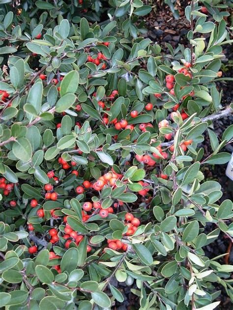 small evergreen shrub with berries evergreen shrubs small flowers and red berries on pinterest