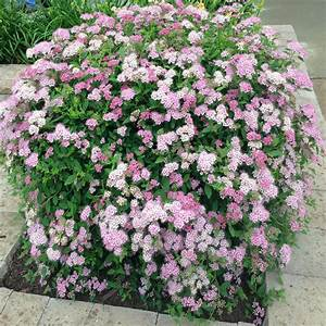 Onlineplantcenter 3 Gal  Little Princess Spirea Shrub-s6018g3