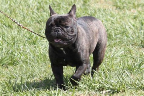 french bulldog breed information french bulldog images