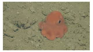 This might just be the cutest octopus you ll see - Awesomelycute  Cute Baby Octopus Gif