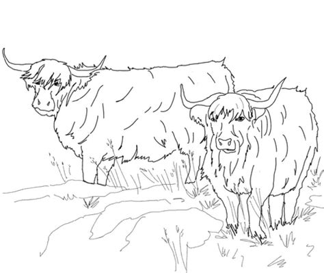 scottish highland cattle coloring page supercoloringcom