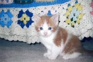 The gallery for --> Fluffy Orange And White Kitten