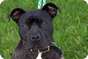 Pandora   Adopted Dog   Crown Point, IN   Pit Bull Terrier ...