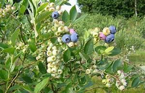 Wann Heidelbeeren Pflanzen : die pflanze ~ Orissabook.com Haus und Dekorationen