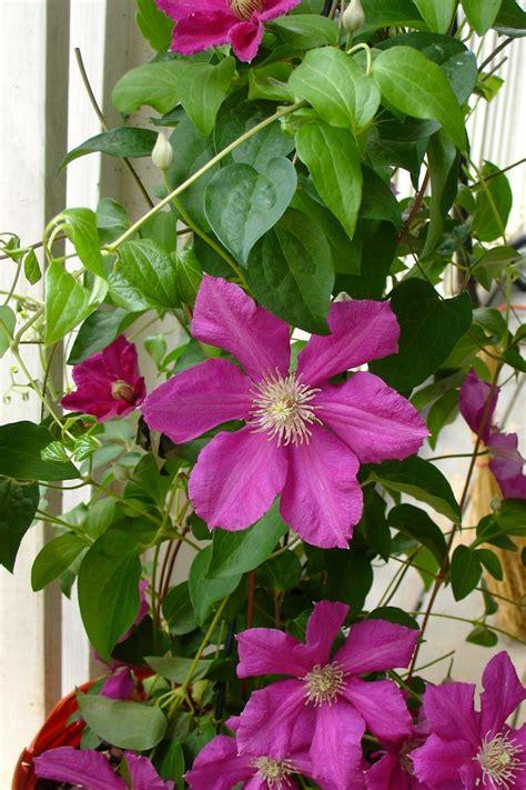 flowering vine flowering vines how to choose plant and grow vines hgtv