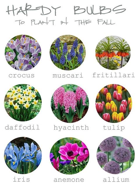 hardy bulbs for fall planting in the garden