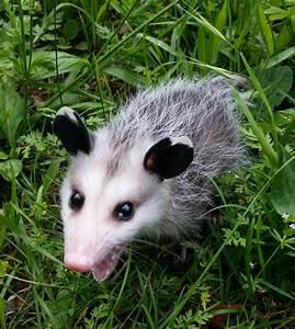 Happy Opossum by rainfox88 on DeviantArt