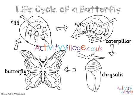butterfly life cycle colouring page
