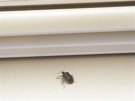 black bugs on window sill stink bug information identify exterminate stink bugs