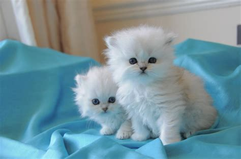 kitten for sale stunning chinchilla kittens for sale cardiff cardiff