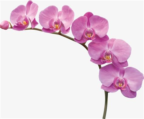 Orchid Flowers, Flowers, Squid, Branches Png Image And