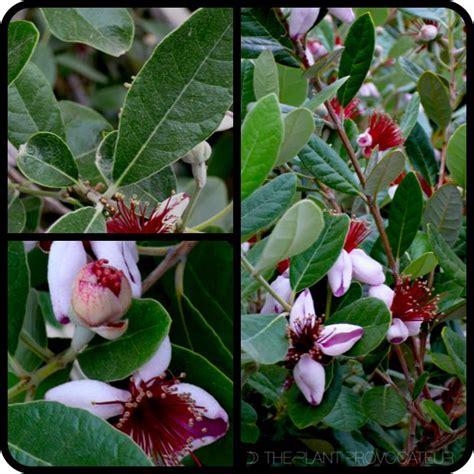 guava l houston 1000 id 233 es 224 propos de guava tree sur