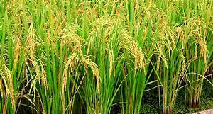 Enzymes Aid Rice Plants U2019 Arsenic Defenses