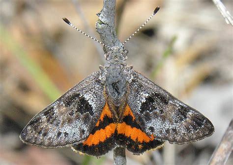 sun moths family castniidae