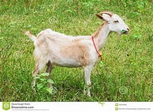 Goat Eating Grass Stock Image  Image Of Brachiaria