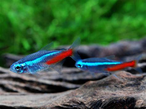 neon tetra fish laboratory