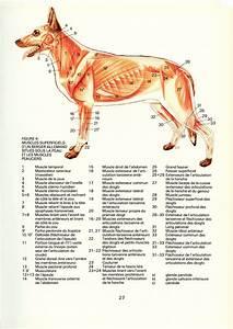 1975 Vintage Dog Anatomy poster Dog muscles poster Dog anatomy