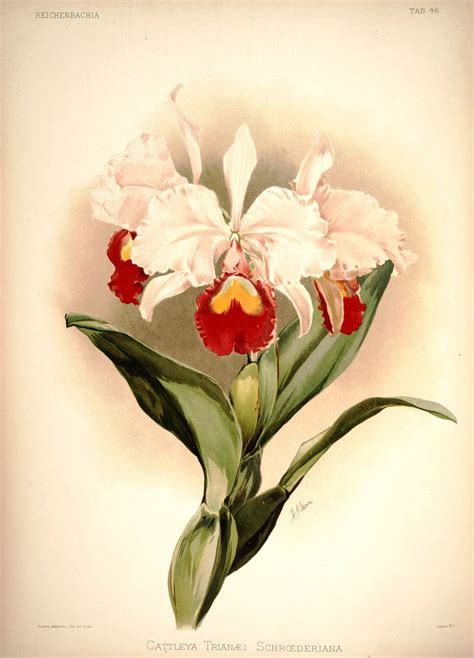 Cattleya Orchid Tattoo Meaning