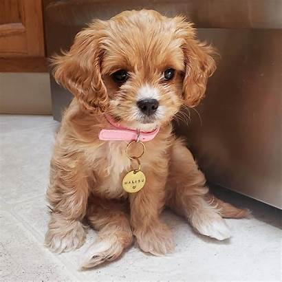 Female Cavapoo Puppy Puppies Weeks Adorable Age