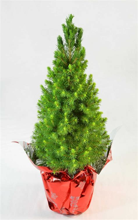 Buy Dwarf Alberta Spruce Miniature Christmas Tree Online