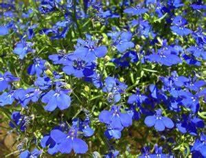 Blumen Für Sonnigen Standort : m nnertreu lobelien standort pflege und berwintern ~ Michelbontemps.com Haus und Dekorationen